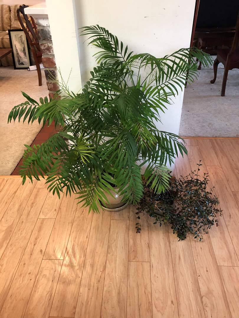 Lot # 153 - Nice Palm House Plant & Other House Plant (main image)