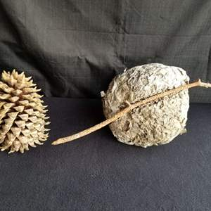 Lot # 67 - Nature's Best:  Large Pine Cone and Wasp Nest