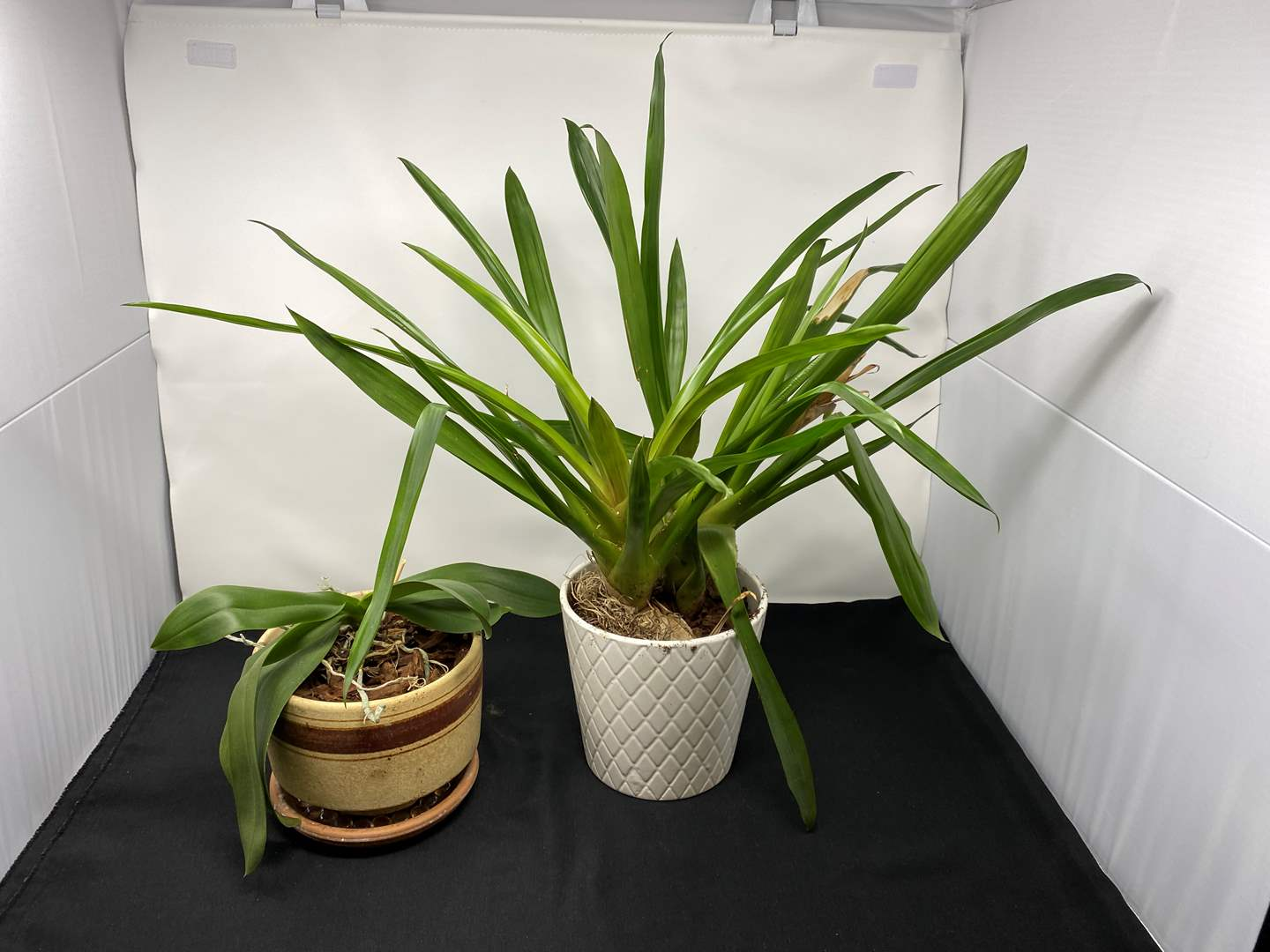 """Lot # 99 - Two Small Potted """"Mother in law tongues"""" (main image)"""