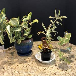 Lot # 209 - Three House Plants, One Propgating
