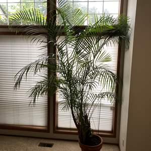 Lot # 12 - Huge Potted Majesty Palm Plant