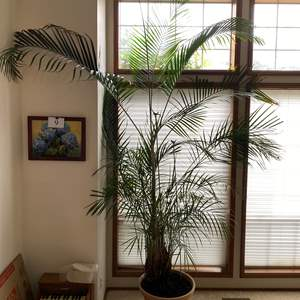 Lot # 13 - Another Huge Potted Majesty Palm Plant