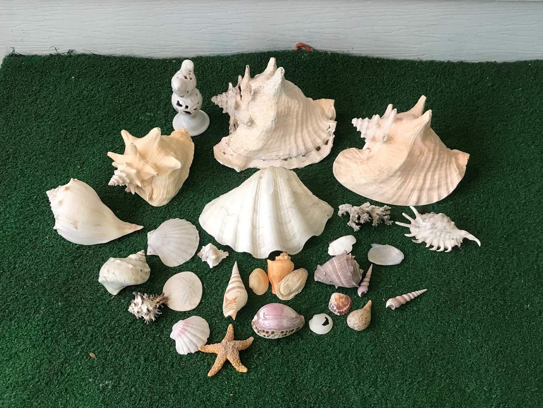 Lot # 271 - Sea Shells of Various Sizes  (main image)