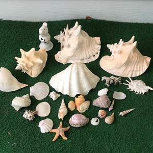 Lot # 271 - Sea Shells of Various Sizes
