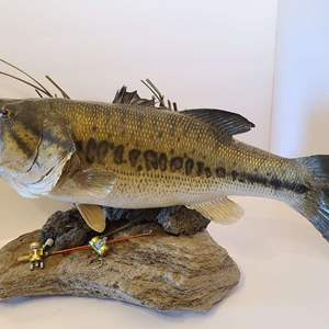 Lot # 25  Taxidermy Large Mouth Bass