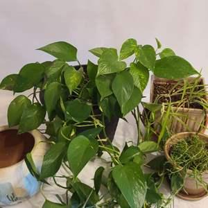Lot # 117 Household Plants