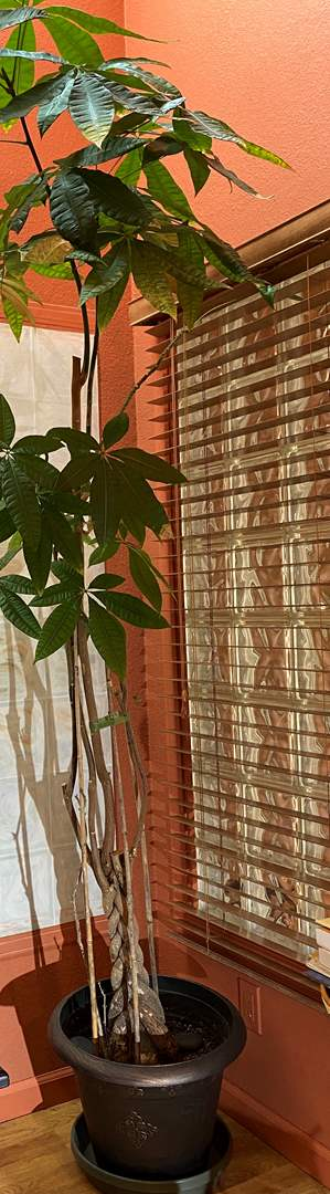 Lot # 147 VERY Tall (over 8') Potted House Plant (main image)