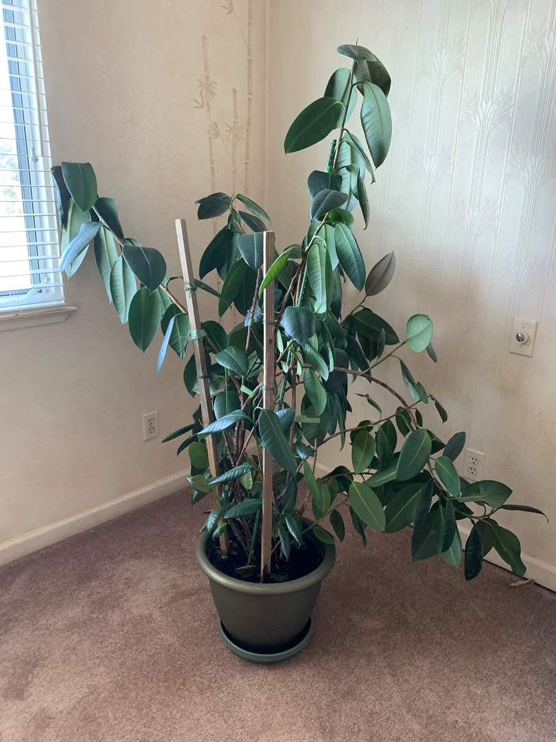 Lot # 20 Large Potted Plant (main image)