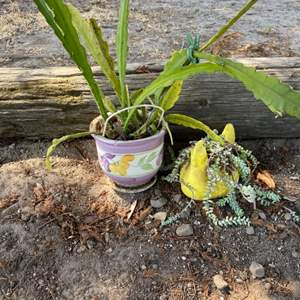 Lot # 119 Lot of 2 Potted Succulents