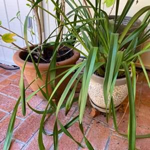 Lot # 188 Pair of Plants