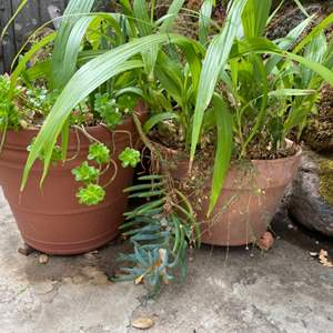 Lot # 209 Lot of 2 Potted Outside Plants