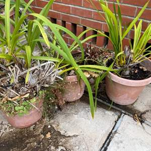 Lot # 215 Lot of 3 Potted Plants
