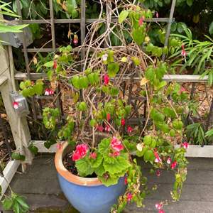 Lot # 270 Potted Plant with Pink Flowers