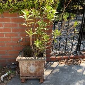 Lot # 395 Outdoor Potted Plant with Lion Face Concrete Pot