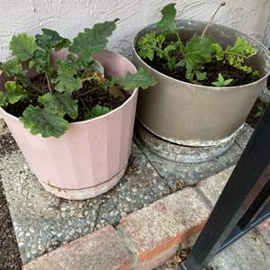Lot # 79 Lot of Three Potted Plants