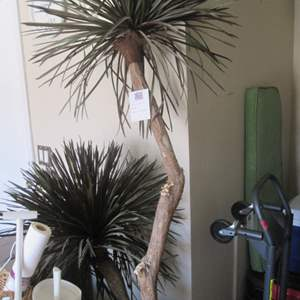 65-7' Potted Yucca Tree ( Basket Broken)