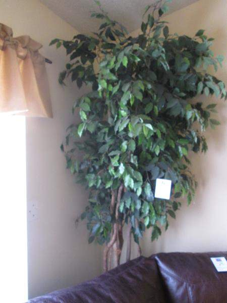 Lot # 174 - 8' Potted Ficus Tree (main image)