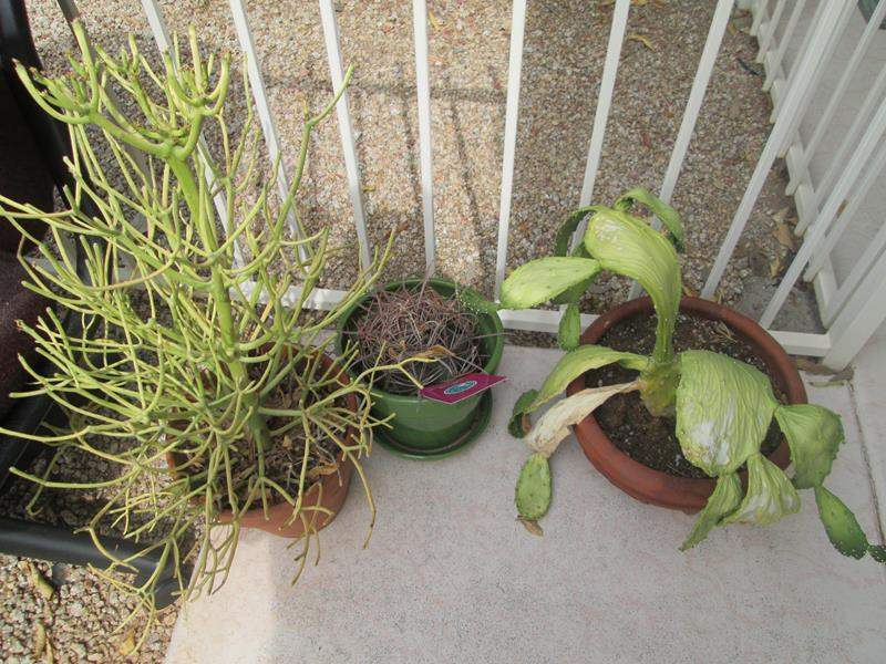 Lot # 199 - 3-Potted Plants (main image)