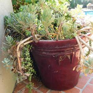 """Lot # 363-Large pot of beautiful succulents, about 30""""tall"""