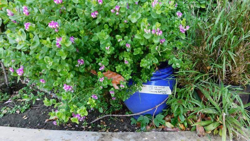 "Lot # 364-Large blue pot (15"") with succulent flowering plant (37"") (main image)"