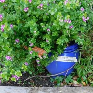 """Lot # 364-Large blue pot (15"""") with succulent flowering plant (37"""")"""
