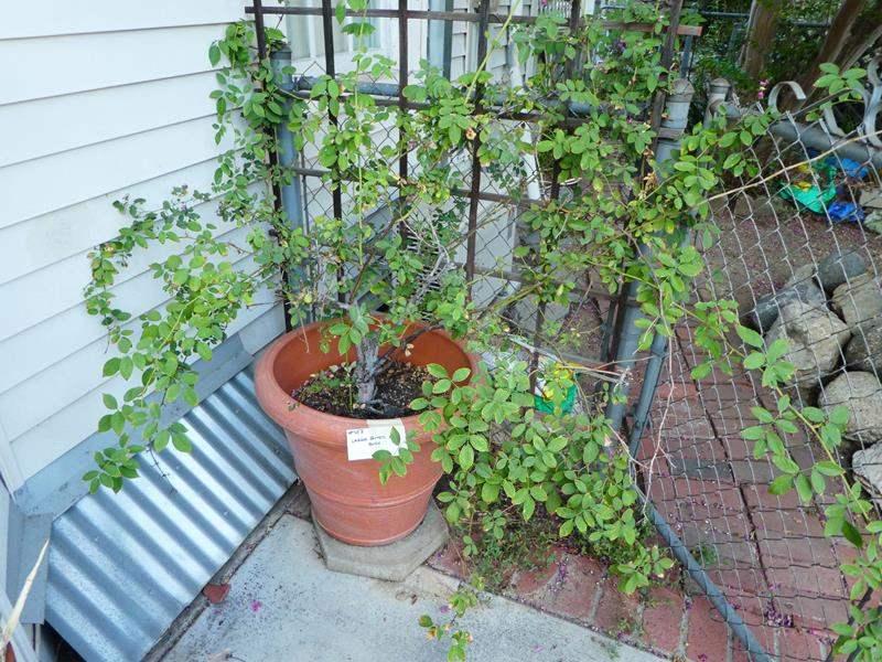 Lot # 453- Large potted plant- rose bush (main image)