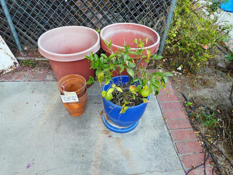 Lot # 455- 3 jumbo plastic pots, ceramic pot with lime tree and other pots (main image)