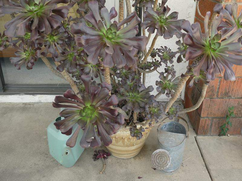 Lot # 230- Giant violet suculant plant with pot and 2 watering cans (main image)