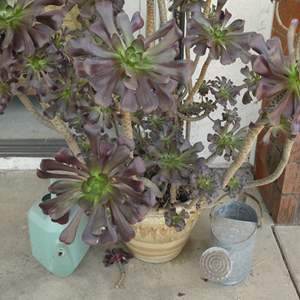 Lot # 230- Giant violet suculant plant with pot and 2 watering cans