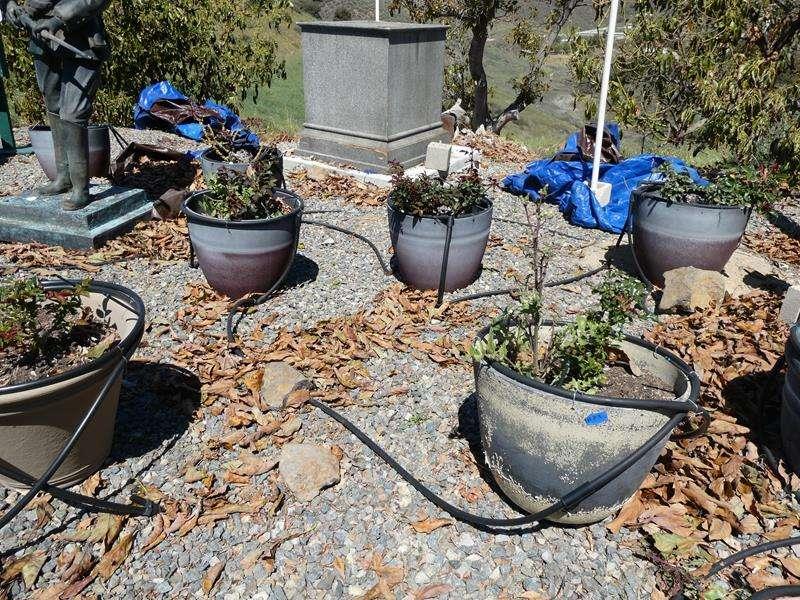 Lot # 85- Nine Rosebushes with pots! (main image)