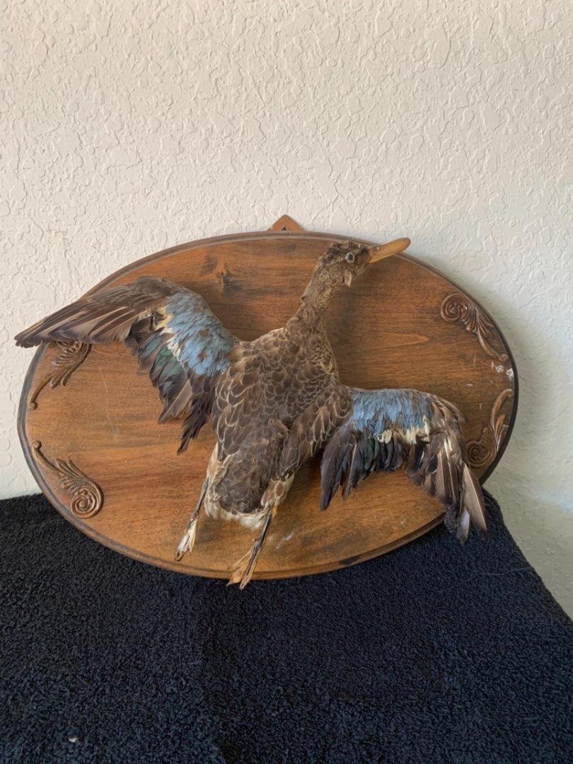 Lot # 167 Vintage Mounted Taxidermy Bird. Blue Wing Teal? See Below