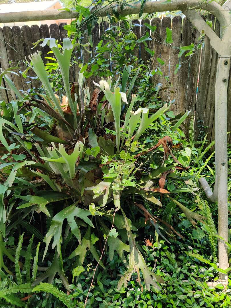 # 149 large live staghorn fern about 4 foot overall hanging in a basket