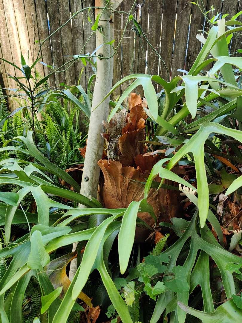# 150 large live staghorn fern