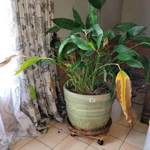 Lot # 25 Large Plant (Live) w/ Planter on Casters