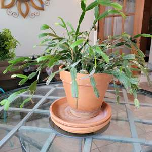 Lot # 149 House Plant w/ Terracotta Planter