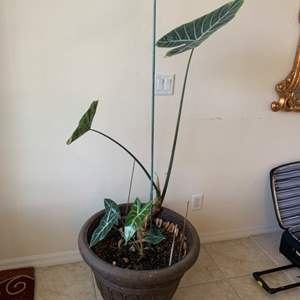 Lot # 63 Large Real Potted Plant