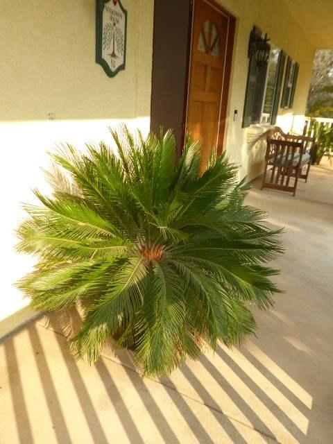 Lot # 4 - Sago Palm W/Beautiful Ceramic Pot (main image)