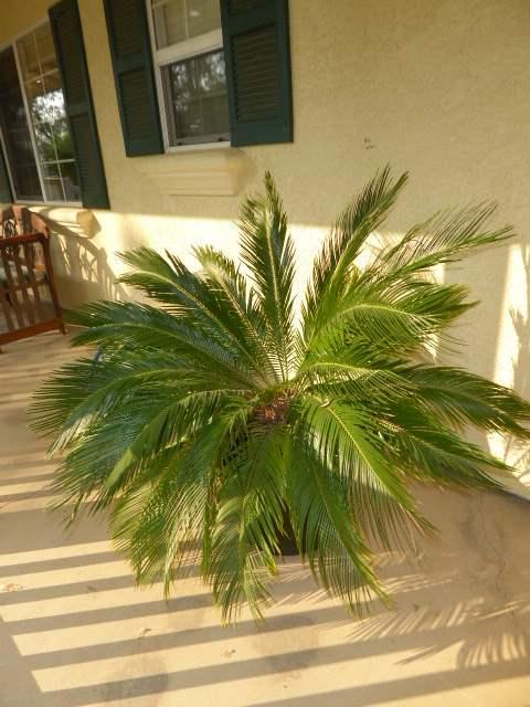 Lot # 6 - Sago Palm W/Beautiful Ceramic Pot (main image)