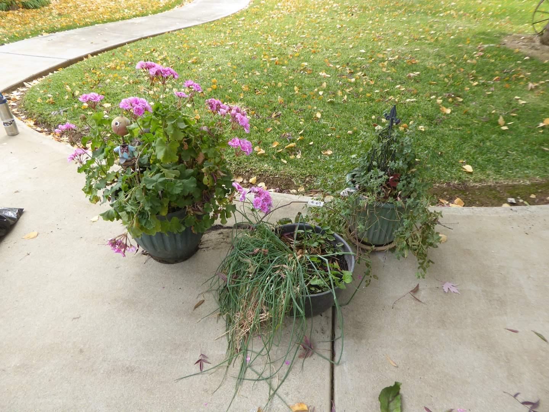 Lot # 49 - Three Live Plants  (main image)