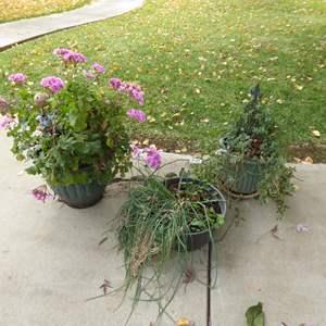 Lot # 49 - Three Live Plants