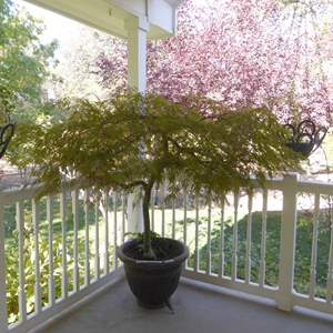 Lot # 111 - Cute Tree In Large Planter