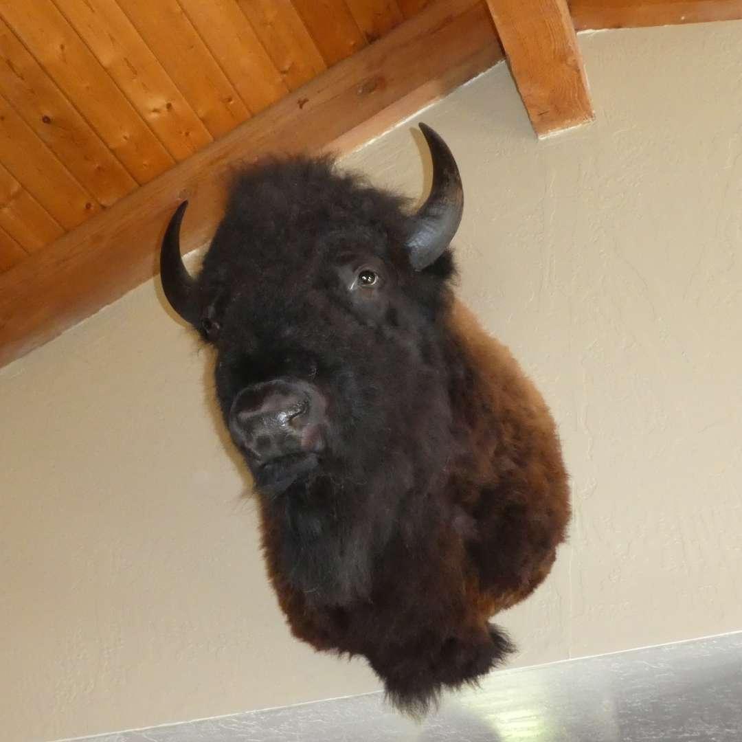 Lot # 9 - Huge Taxidermied Wall Mounted Buffalo Head (main image)