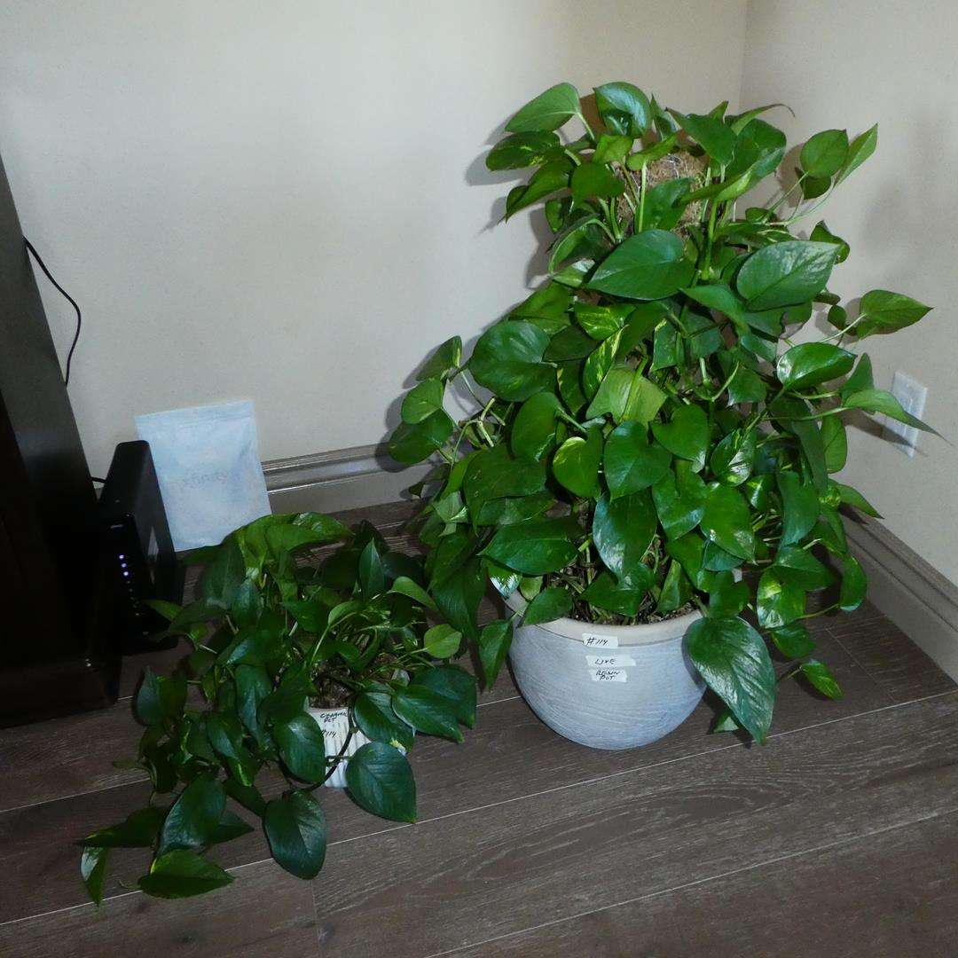 Lot # 114 - Two Live House Plants in Pots (main image)