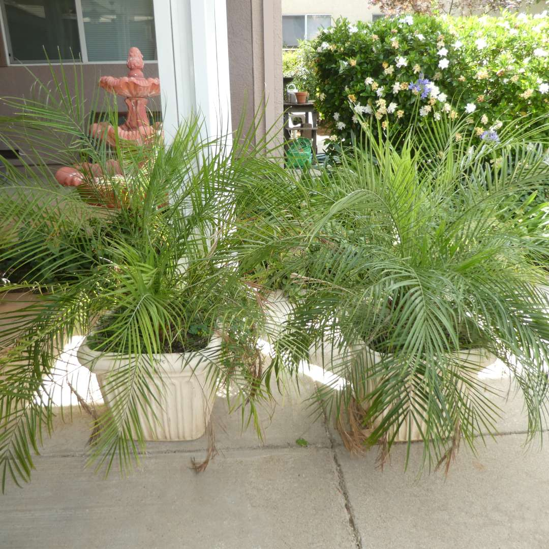 Lot # 411 - Two Potted Palm Trees (Outdoor/Indoor) (main image)
