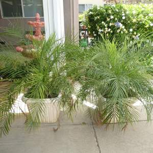 Lot # 411 - Two Potted Palm Trees (Outdoor/Indoor)