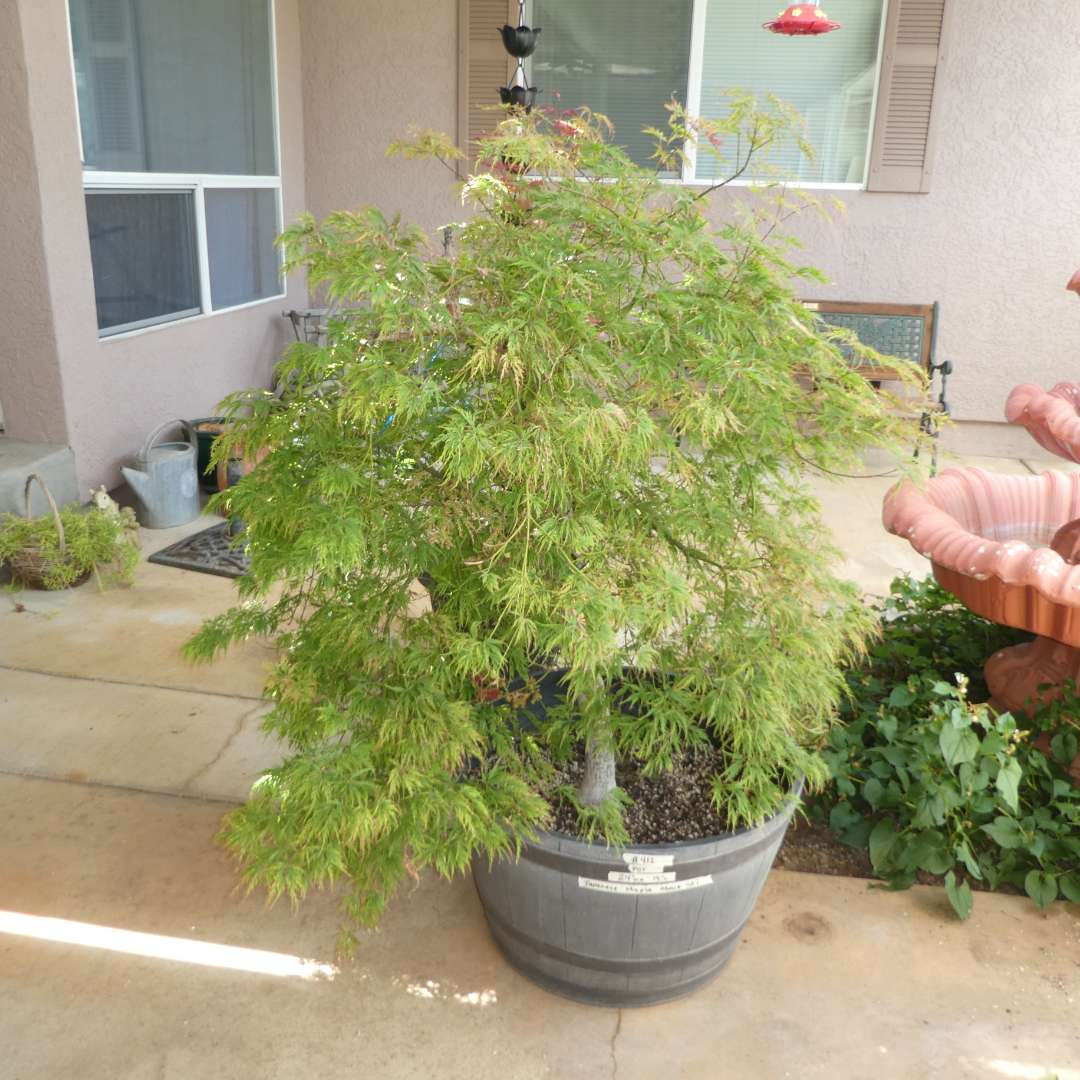 Lot # 412 - Potted Japanese Maple Tree (main image)