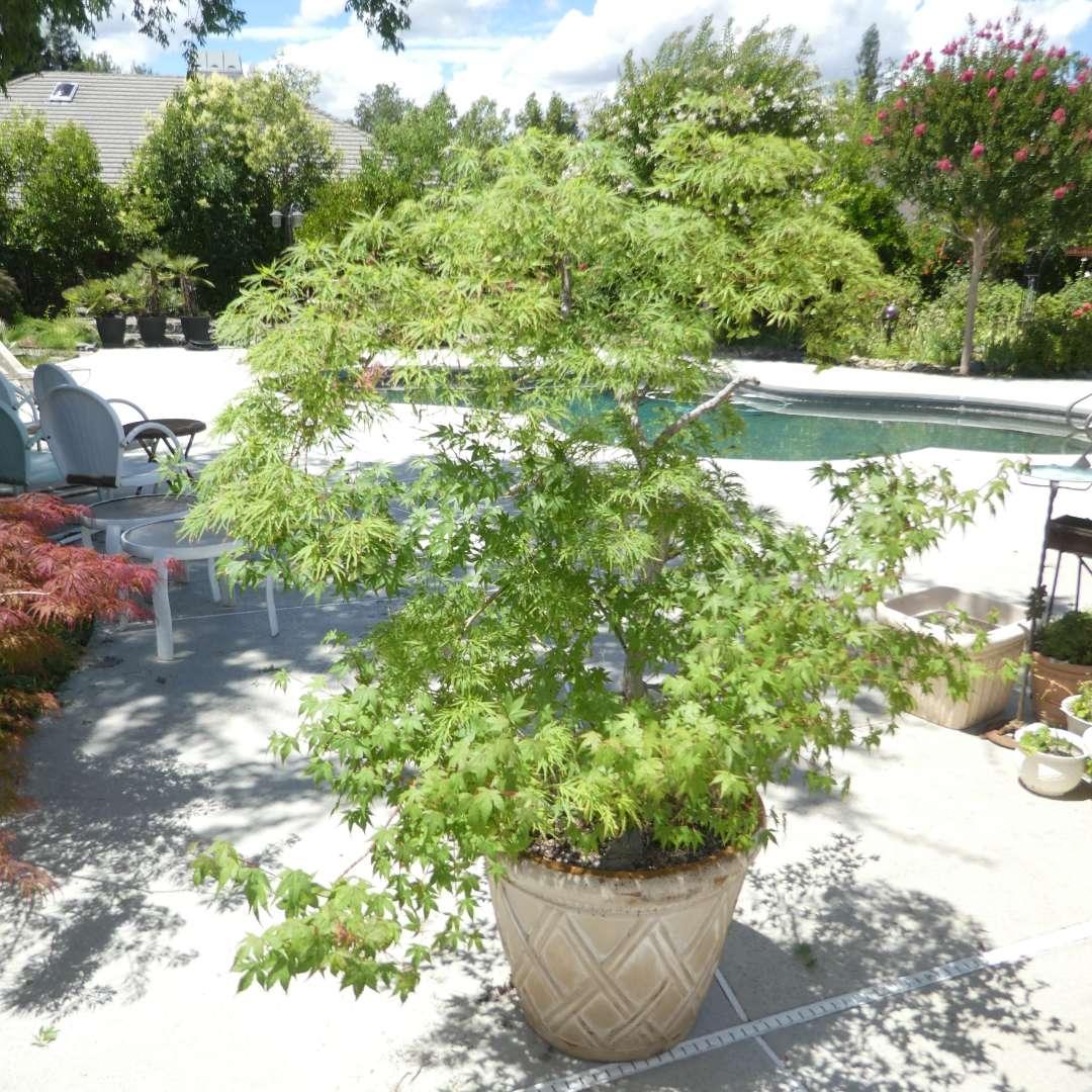Lot # 426 - Potted Japanese Maple Tree (Heavy) (main image)