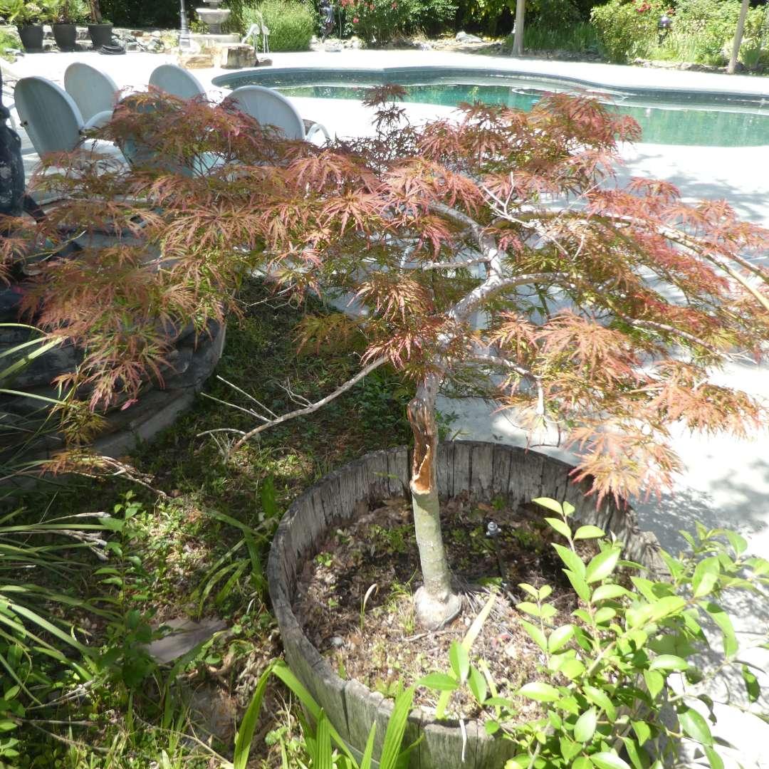 Lot # 427 - Potted Japanese Maple Tree (Heavy) (main image)