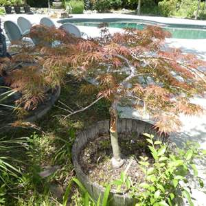 Lot # 427 - Potted Japanese Maple Tree (Heavy)