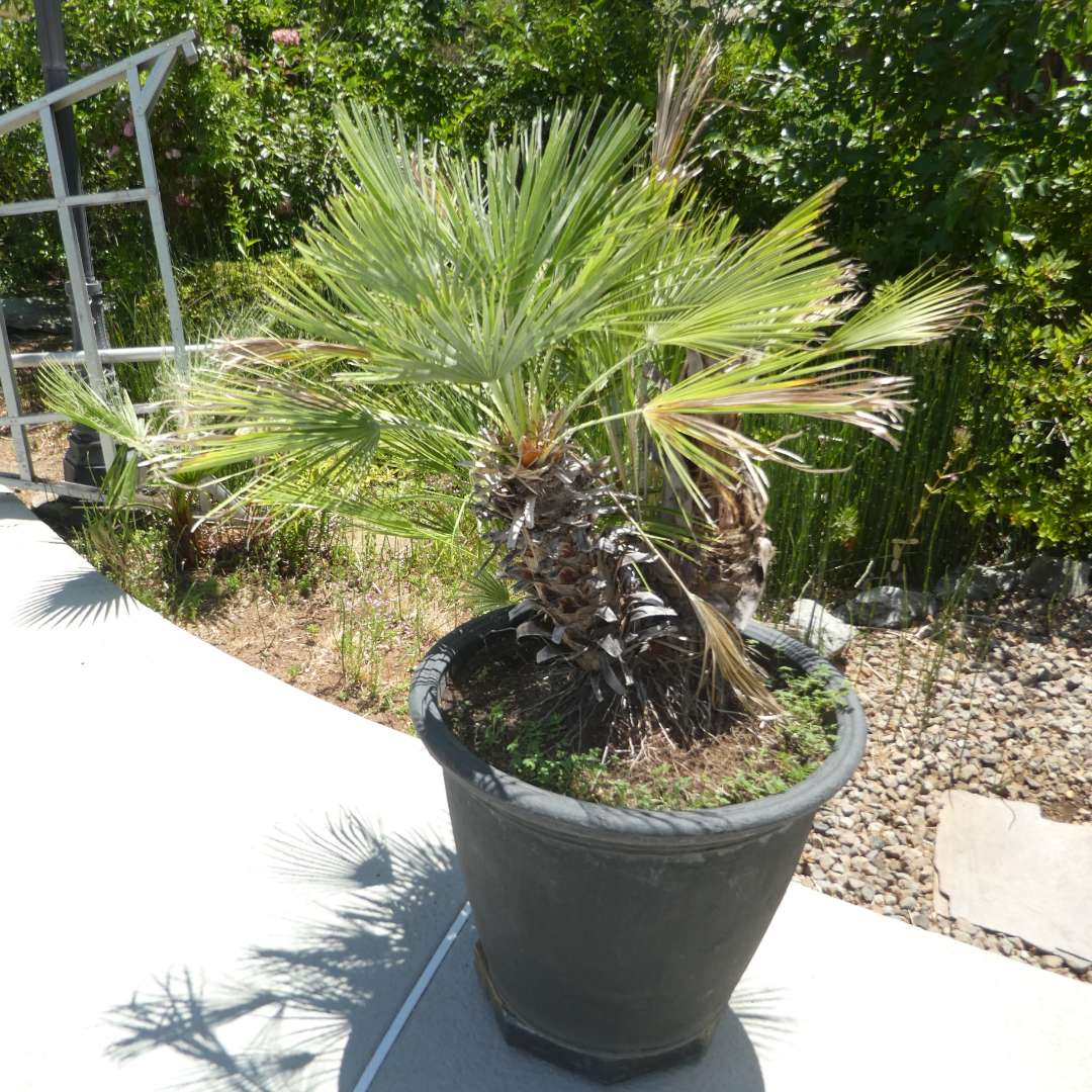 Lot # 429 - Potted Palm Tree (On Plant Dolly) (main image)